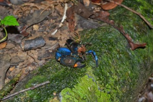 Blue Shrimp in Costa Rica